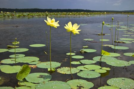 A Pair of Lotus Flowers