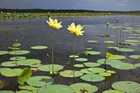 A Pair of Lotus Flowers