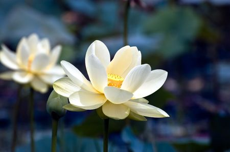 Enchanting Lotus
