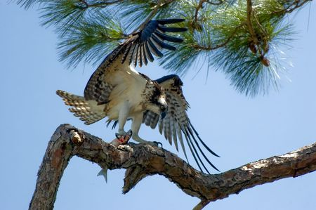 osprey: Osprey with Fish