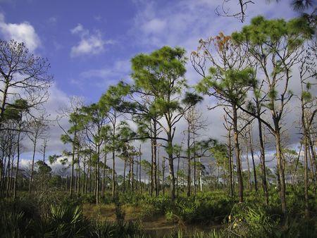 Pine Scrub Stok Fotoğraf