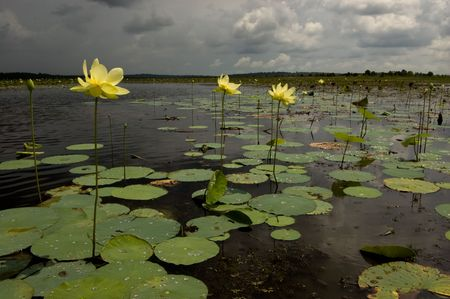 Lotus Flowers with Approaching Storm