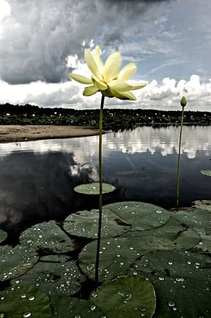 Stormy Lotus photo