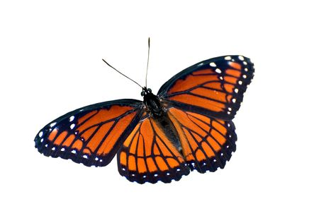 viceroy: Butterfly on White Background Stock Photo