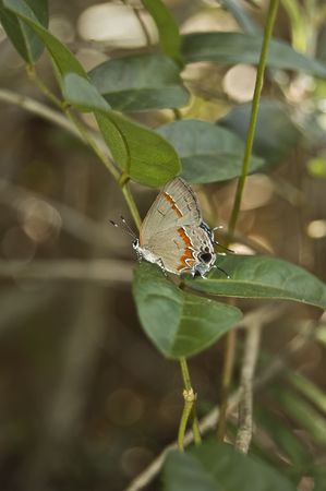 赤縞蜆蝶バタフライ