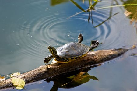 cooter: Funny Turtle Stock Photo