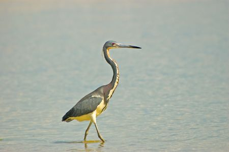 squawk: Tricolored Heron in Breeding Plumage