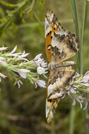 goldenrod crab spider: Spider Eating Butterfly Stock Photo