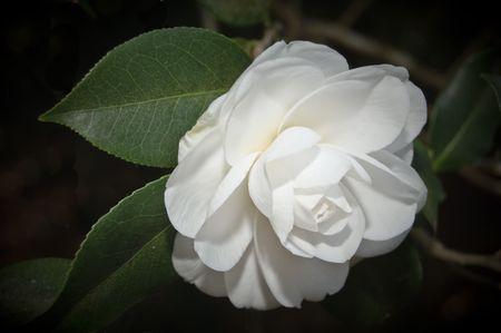 sepals: White Camellia