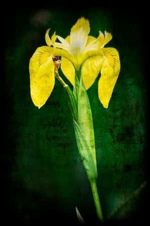 Canna lily photographed and worked into a stylized photographic art.