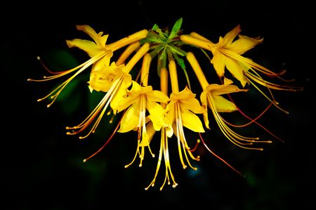 The native flame (or yellow) azalea photographed in North Florida. Stock Photo