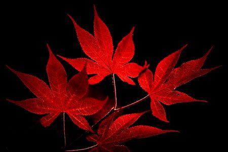黒い背景に日本のカエデの葉