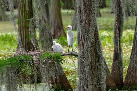 Baby Great Egrets with Nest photo