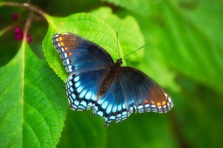 mariposa azul: Manchas rojas Purple Butterfly