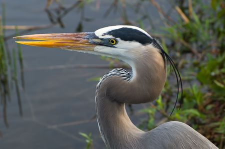on gray: Great Blue Heron (Ardea herodias) Stock Photo