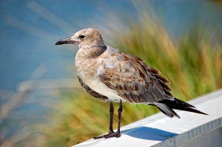 larus: Juvenile Laughing Gull (Larus atricilla)