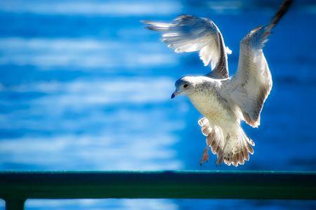 Peace Gull