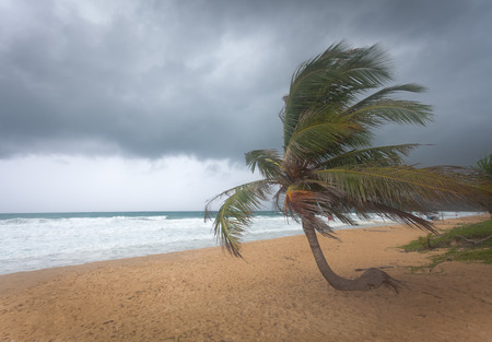 Windswept Palm tree during typhoon weather on Karon Beach, Phuket, Thailand.