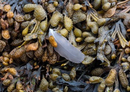 wrack: Bladderwrack and a gulls feather Bladderwrack or Bladder Wrack is the most common algae or seaweed on the shores of the UK.