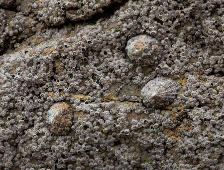 marine crustaceans: Limpets and barnacles attached to a rock on the Gower peninsular South Wales, UK