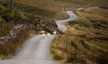 brecon beacons: Sheep on a Welsh road in the Brecon Beacons, South Wales.