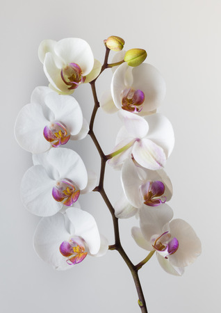epiphytic: White Orchid Orchids, a diverse and widespread family of flowering plants.