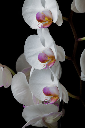 widespread: White Orchids Orchids, a diverse and widespread family of flowering plants.