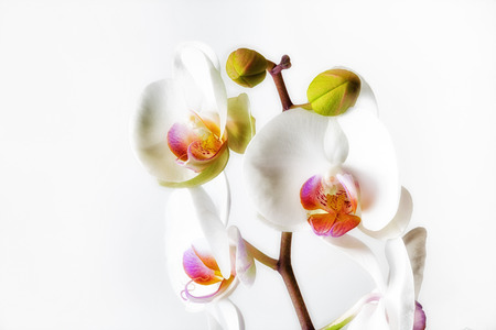 epiphytic: Orchids, a diverse and widespread family of flowering plants. Stock Photo