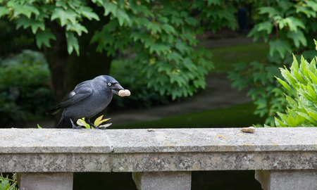 carrion: Carrion Crow with peanut in the United Kingdom