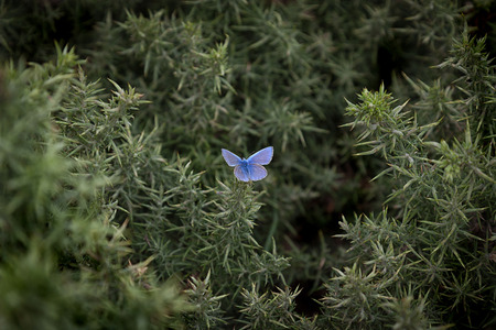 common blue: A male Common Blue butterfly on a thorny bush