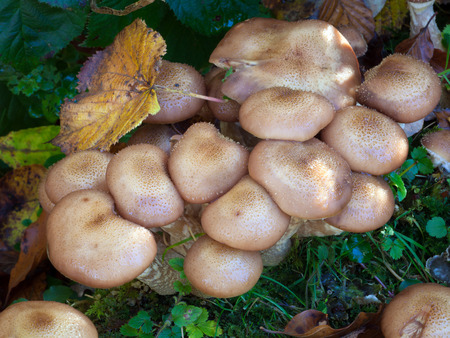 gilled: Honey fungus Armillaria mellea The common name of several species of fungi within the genus Armillaria, spreads underground, killing the roots of perennial plants Stock Photo