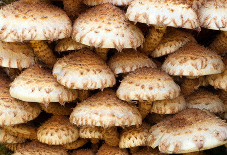 gilled: Shaggy Scalycap, Pholiota squarrosa Often confused with Honey Fungus but unlike that one the Shaggy Scalycap in inedible