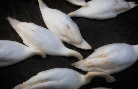 agachado: Resumen de imágenes de cisnes se alimentan de Cosmeston Lakes Country Park, en el valle de Glamorgan, Gales del Sur