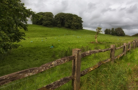 fenced in: Painted Welsh sheep A fenced off field of blue painted sheep in Wales UK