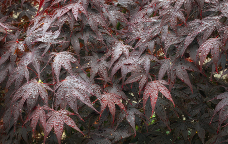 Water droplets hanging like blisters on the leaves of a tree known both as a crimson Acer and Japanese Maple tree.