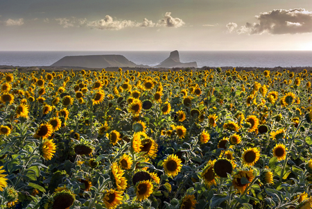 A field of sunflowers at Rhossili and Worms Head, Gower peninsula, Swansea, UK Stock fotó