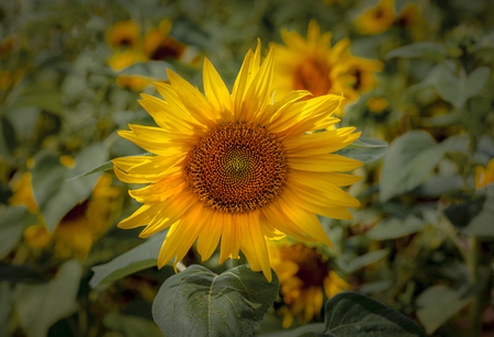 The sunflower or Helianthus is a genus of plants comprising about 70 species, the happiest of flowers whose meanings include loyalty and longevity. 스톡 콘텐츠