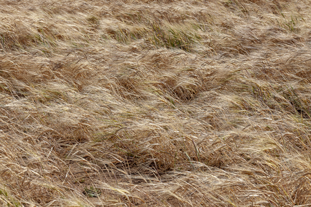 A Barley field on the Gower peninsula in Swansea, South Wales, UK, a member of the grass family and a major cereal grain grown in temperate climates