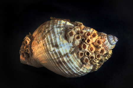 Macro close up of a common whelk shell covered in barnacles Stock fotó