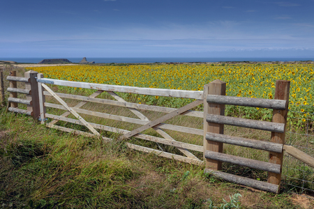 A large wooden country gate at the entrance tp a field of sunflowers at Rhossili on the Gower peninsula, Swansea, South Wales UK Stock fotó