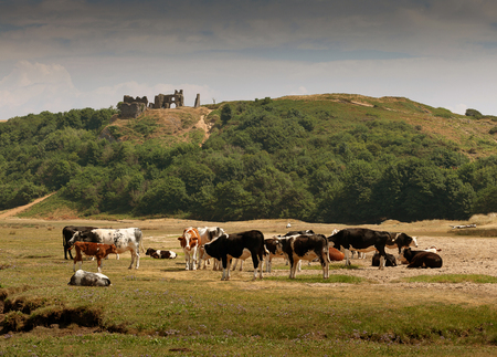 Cows grazing under the ruins of Pennard castle at Three Cliffs Bay on the Gower peninsula, Swansea, South Wales, UK