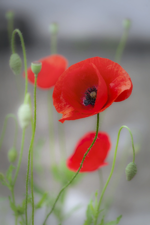 The Red poppy, a perennial herbaceous flowering plant in the poppy family Papaveraceae, often grown for the colourful petals and a symbol of remembrance of World War 1 写真素材
