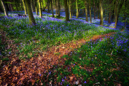 A trail through British Bluebells in Ten Acre Wood near Margam County Park, in Port Talbot, South Wales, UK Stock fotó