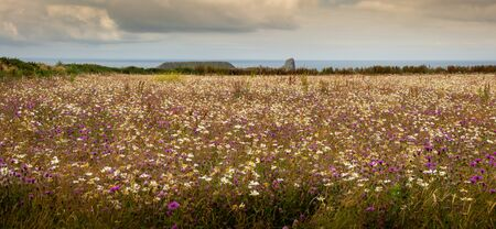 Wild flowers growing in the fields around the iconic landscape of Worms Head on the Gower peninsula in Swansea, South Wales, UK