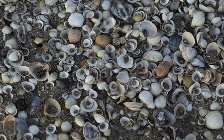 Sea shells on Swansea Bay, South Wales, UK A collection of empty and broken sea shells