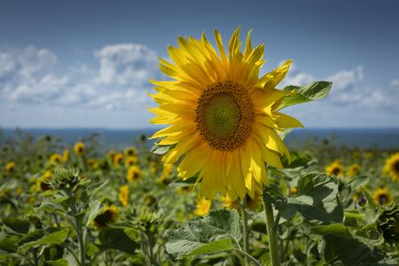 Sunflowers on the Gower peninsula The sunflower, the happiest of flowers whose meanings include loyalty and longevity, planted every year on the Gower peninsula in Swansea, South Wales, UK Фото со стока