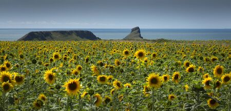 A field of Sunflowers at Rhossili on the Gower peninsula in Swansea, South Wales, UK, the happiest of flowers whose meanings include loyalty and longevity. Фото со стока
