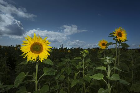 Fields of Sunflowers in Swansea The sunflower, the happiest of flowers whose meanings include loyalty and longevity, planted every year on the Gower peninsula in Swansea, UK