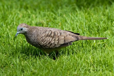 mauritius: Barred Ground Dove (Geopelia striata) at Mauritius. Stock Photo