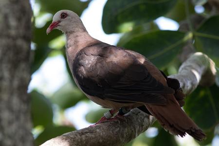 aux: Pink Pigeon (Nesoenas mayeri) at the protected Island Ile aux Aigrettes, Mauritius.